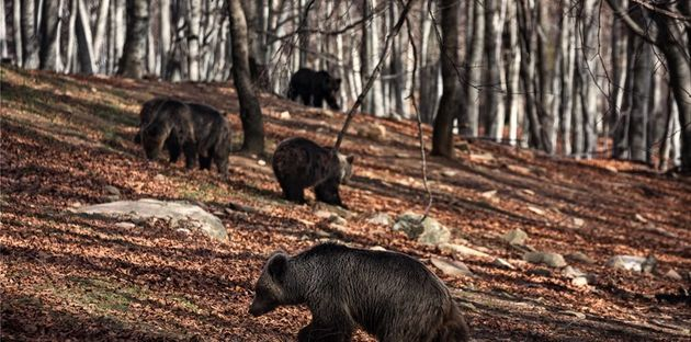 Ξύπνησαν οι αρκούδες στο Καταφύγιο του ΑΡΚΤΟΥΡΟΥ στο Νυμφαίο - Όλες εκτός από τη