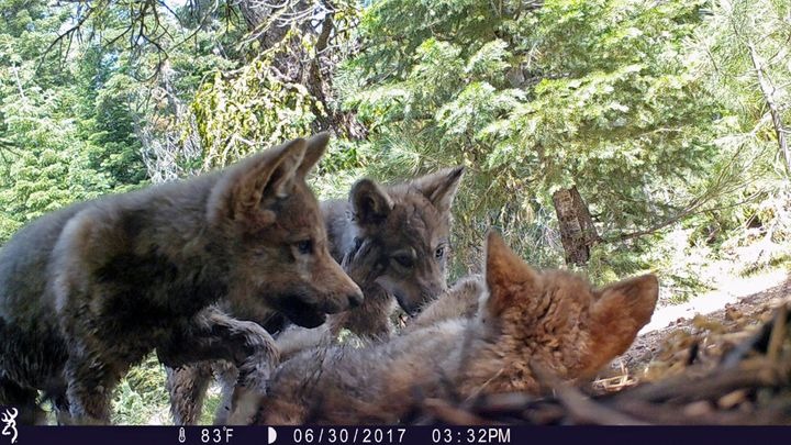 This June 30, 2017 remote camera image released by the U.S. Forest Service shows a female gray wolf and her mate with a pup&n