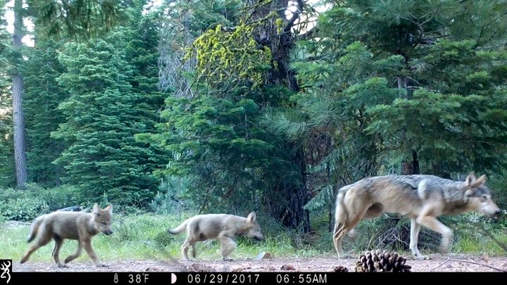 This June 29, 2017, remote camera image released by the U.S. Forest Service shows a female gray wolf and two of the three pup