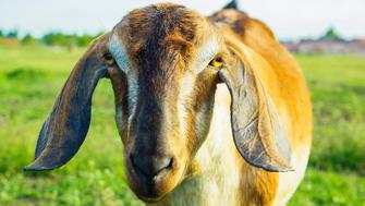 Goat with floppy ears grazing on green field near village. Portrait of Anglo Nubian Goat