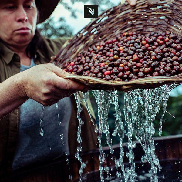 코스타리카 커피 장인이 온천수로 커피 생두를 세척하고 있다