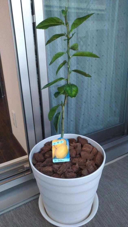 引っ越してきた時に植えたレモン。ふたりのホームツリーだ。