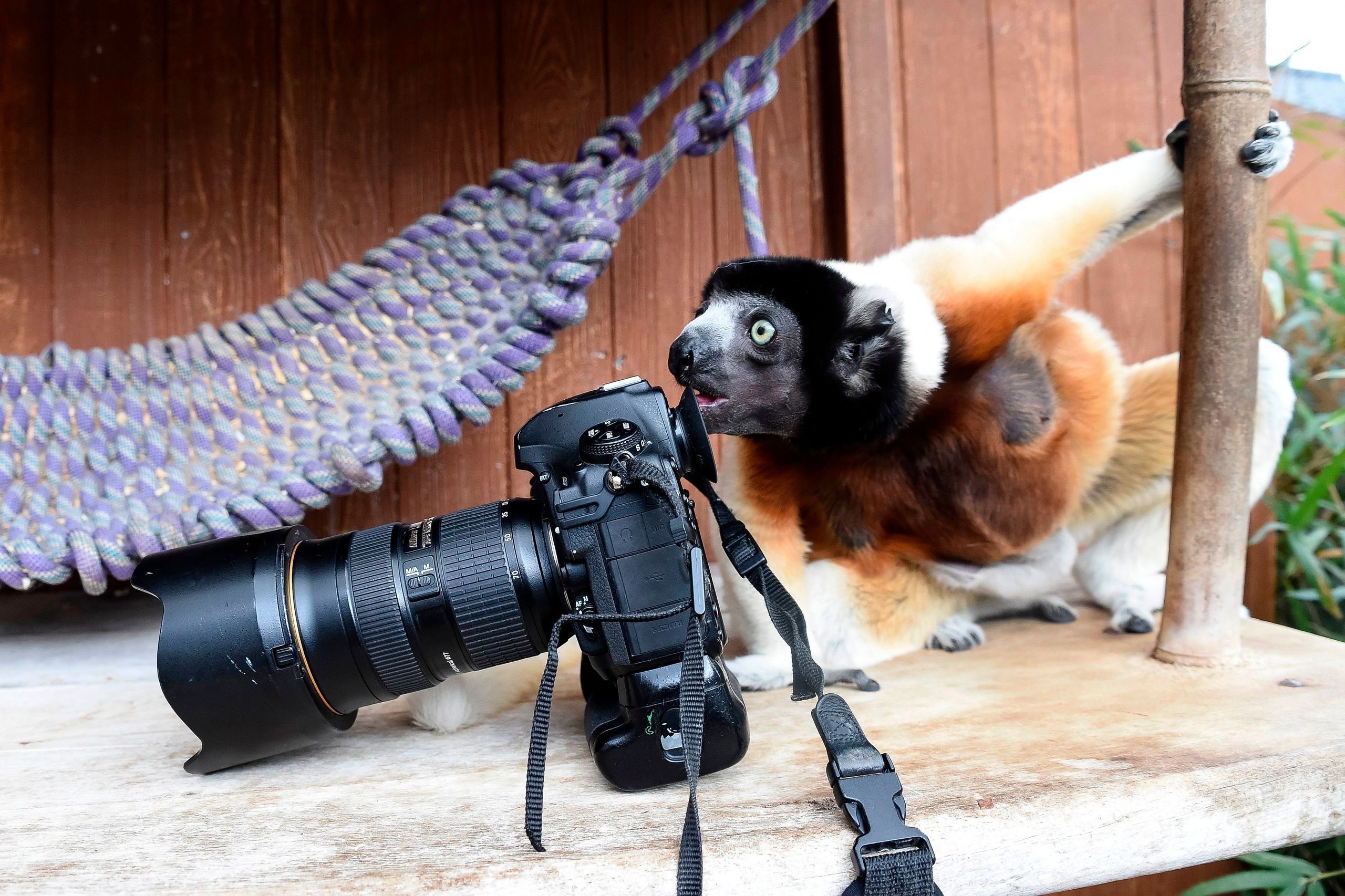 Poppy, a female Crowned sifaka, inspects a photographer's camera in the enclosure at the zoo of Mulhouse, eastern France, on