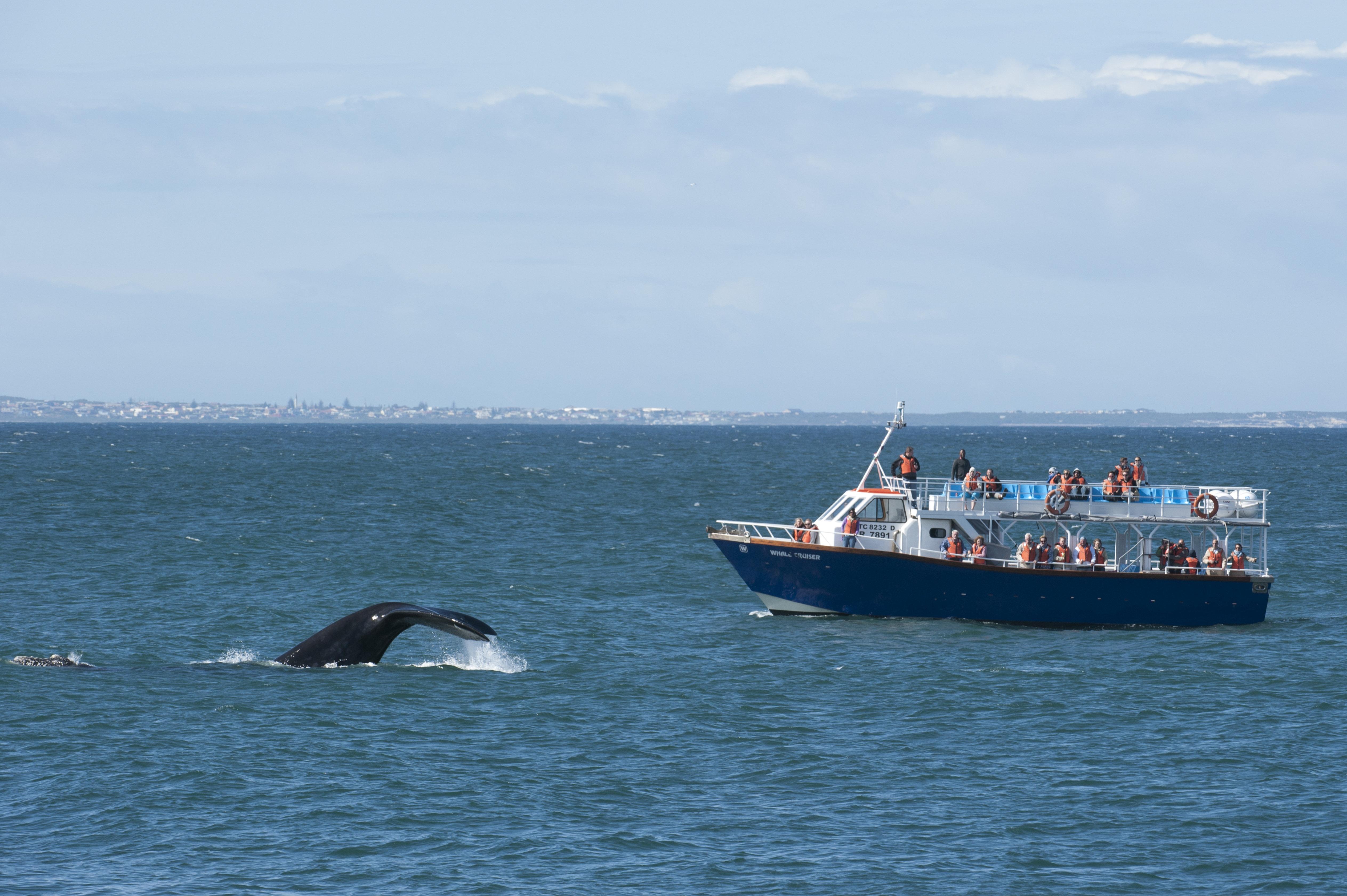 Φάλαινα χτύπησε σε φέρι και άφησε πίσω της δεκάδες
