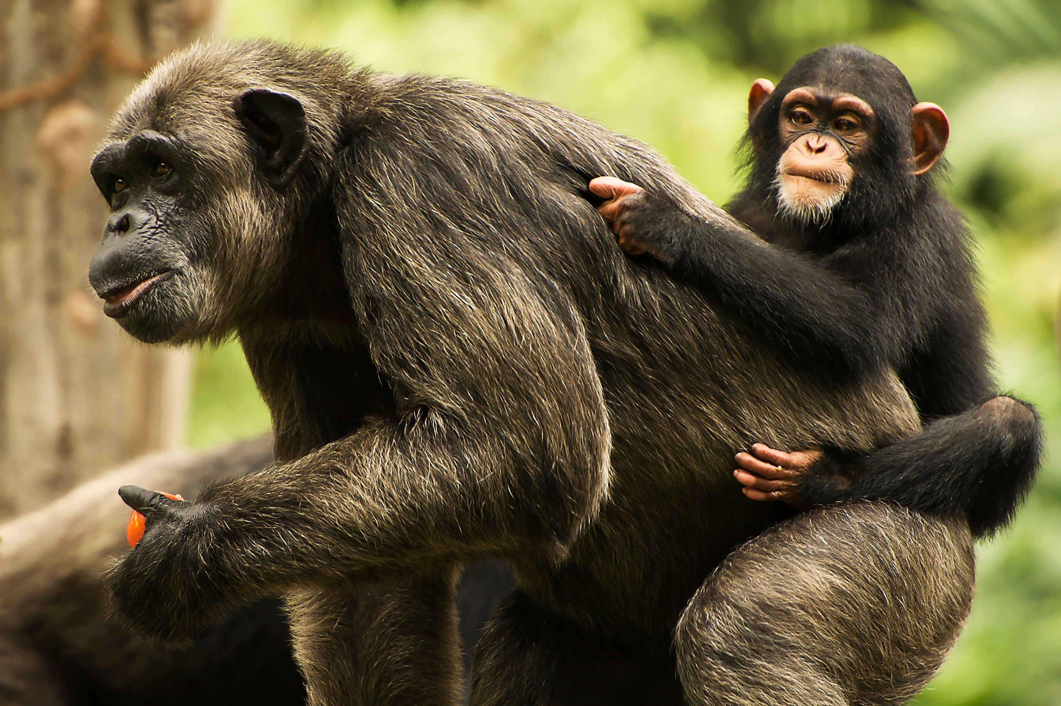 A chimpanzee mother and baby.
