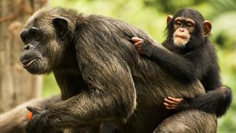 Baby chimpanzee saddling up on the mother