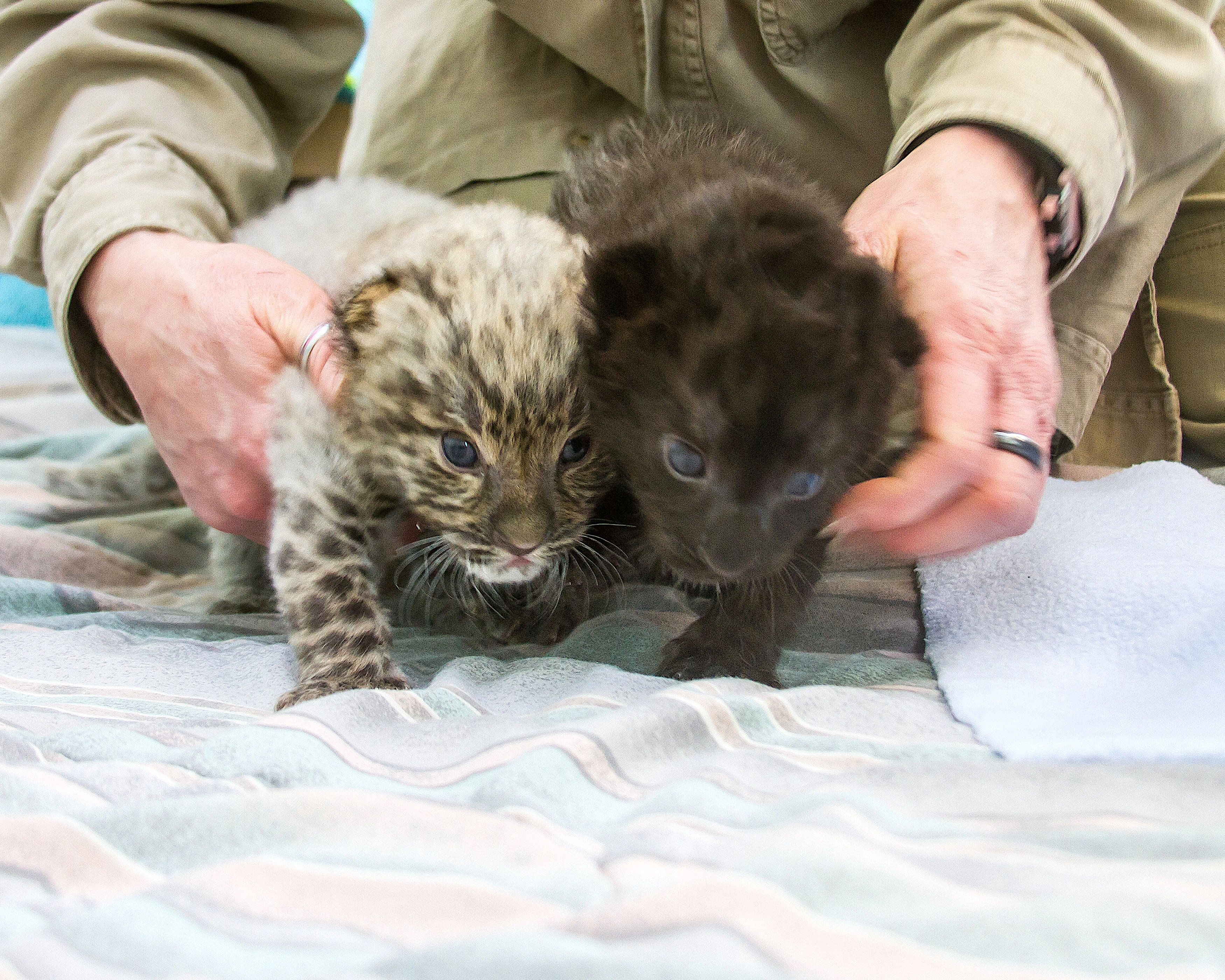 Two rare Amur leopard cubs born on Jan. 25, 2019, at Connecticut's Beardsley Zoo are seen at the Beardsley Zoo, located in Bridgeport, Connecticut on Feb. 14, 2019.
