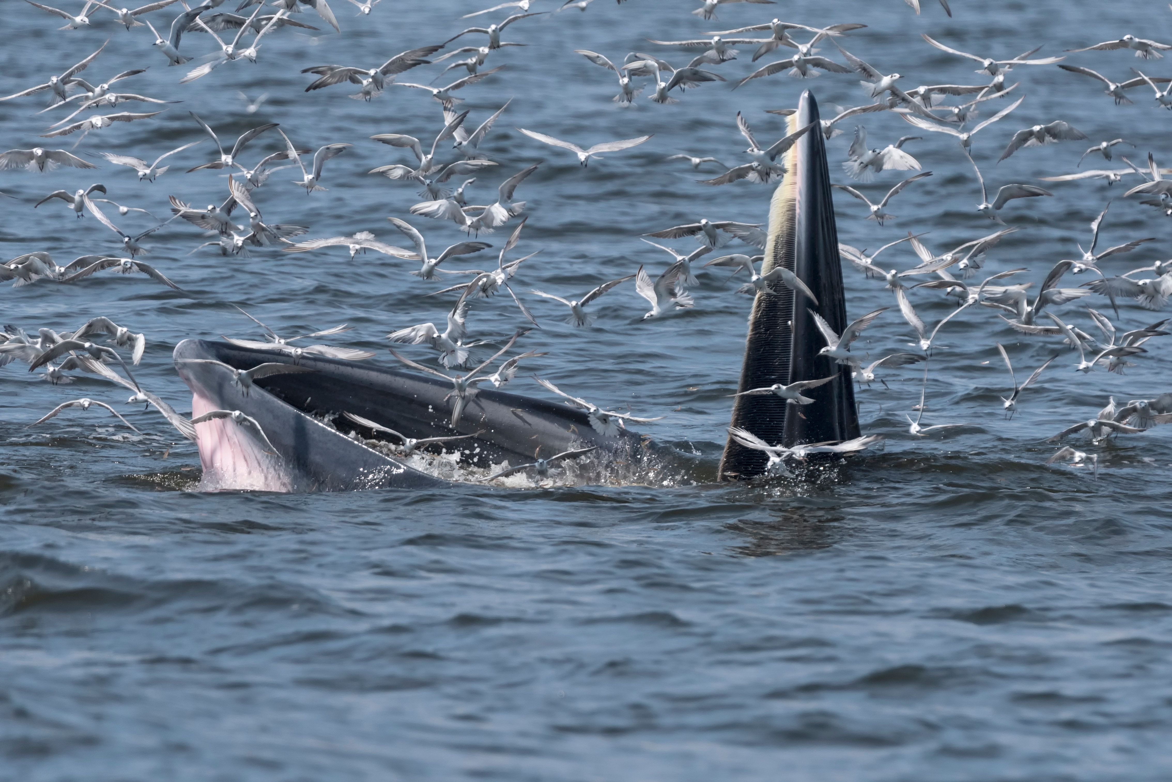 A Bryde's whale