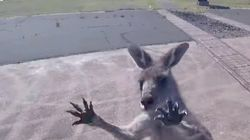 Watch For Anger-roos! Ticked-Off Kangaroo Lets Paraglider Know Who's The