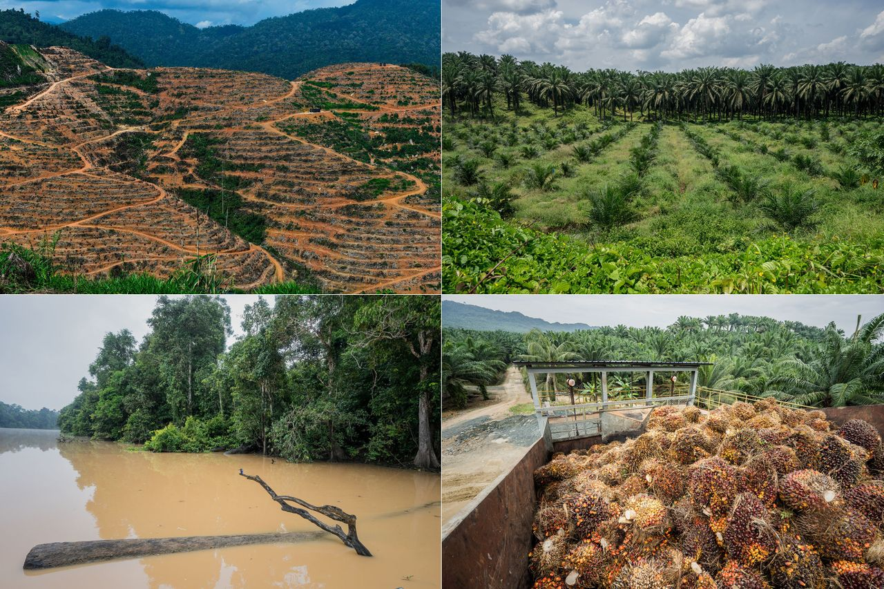 Left top: A durian plantation in Raub, on the outskirts of Kuala Lumpur. Soaring demand for durians in China is being blamed for a new wave of deforestation in Malaysia. <br> Right top: A palm oil plantation encroaches on a wildlife reserve in Sabah, Malaysia. <br> Left bottom: The Kinabatangan River flows through a wildlife reserve in Sabah, Malaysia. The overuse of pesticides during the heavy equatorial rains creates a deadly runoff into the fragile river and its tributaries. <br> Right bottom: A palm oil plantation and factory in Sabah, Malaysia.