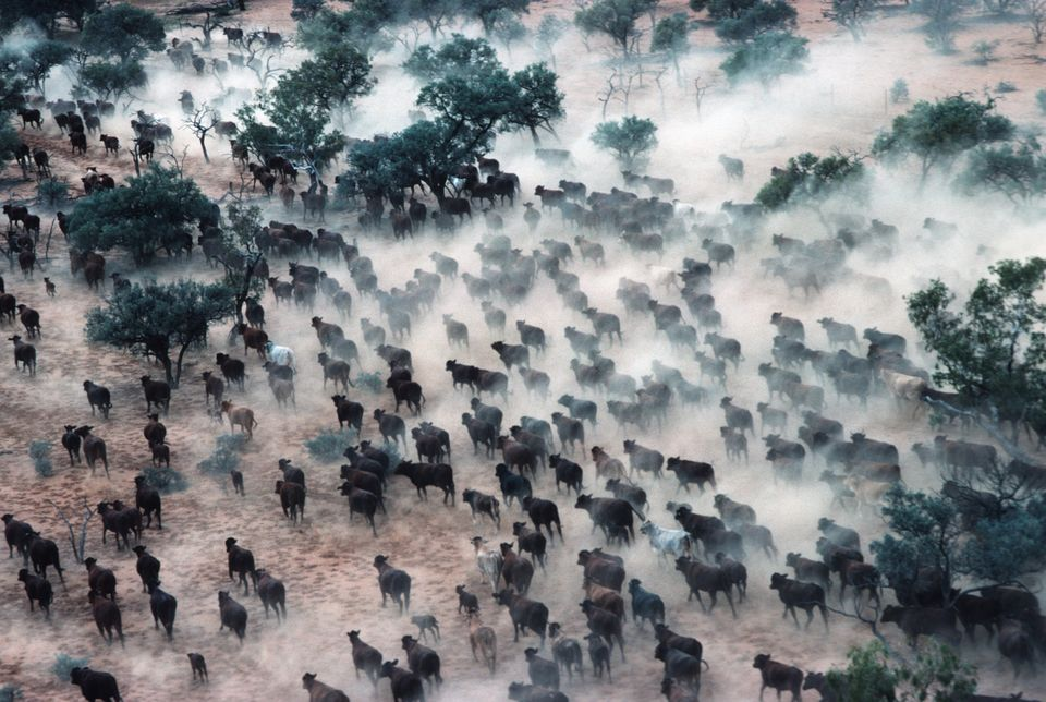QUEENSLAND, AUSTRALIA - 1988/05/01: Aerial scene of a cattle station or ranch in outback Australia with a cowboy on horseback herding and rounding up cows across the desert plains and into huge cattle pens. Small two seat helicopters are used to herd up the cows.. (Photo by Peter Charlesworth/LightRocket via Getty Images)