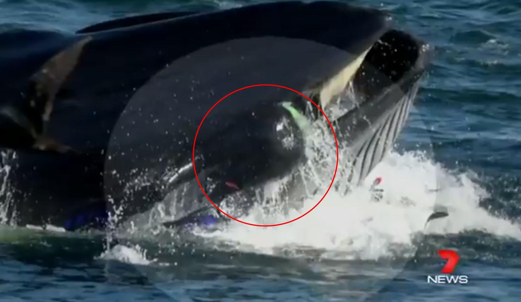 고래에게 삼켜진 잠수부가 무사히 돌아온
