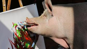 Pigcasso, a rescued pig, paints on a canvas at the Farm Sanctuary in Franschhoek, outside Cape Town, South Africa February 21, 2019. REUTERS/Sumaya Hisham      TPX IMAGES OF THE DAY