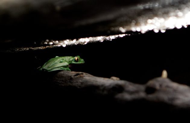 Αόρατος βάτραχος ανακαλύφθηκε από