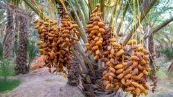 Les recettes des exportations des dattes ont augmenté de