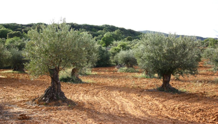 Olivos centenarios recuperados en la Sierra de Altomira, en la Alcarria