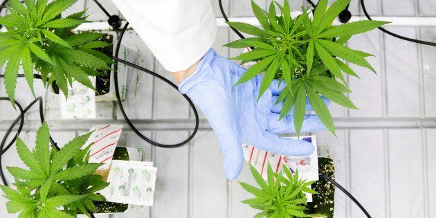 Cannabis terapéutico: entre la ciencia y el