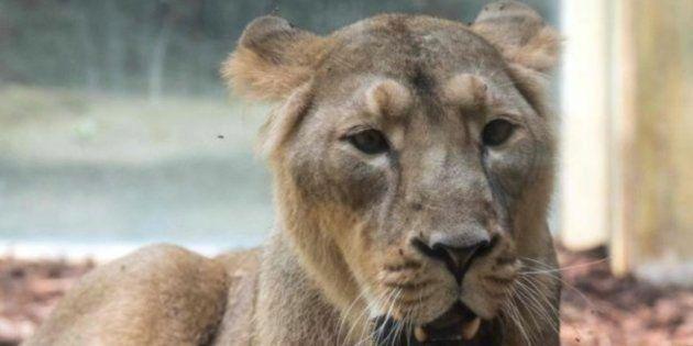 Capturan a los cinco felinos que se escaparon de un zoo en
