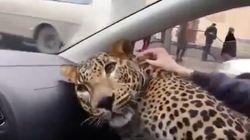 Este leopardo es el sorprendente viajero que ha tenido que llevar un
