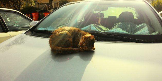Gato durmiendo sobre un capó de