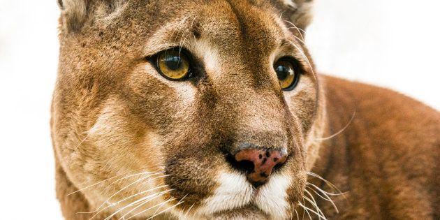 El presentador Steve Ecklund desata las iras tras cazar un puma y mostrar cómo lo