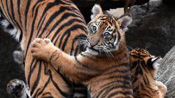 El truco para que un tigre pose en una sesión de