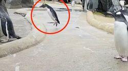 El tuit de este pingüino pegando saltos ya es