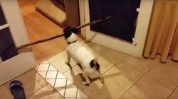 Un perro intenta atravesar la puerta con un palo demasiado