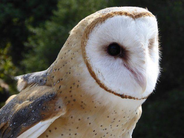 Lo que no sabías de la lechuza común, el ave del año