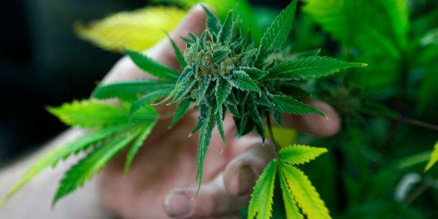 Una planta de marihuana, en una imagen de