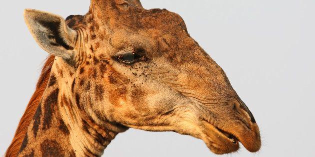 Mueren las tres jirafas de Cabárceno tras incendiarse la cabaña de su