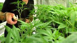 Casi la mitad de los españoles está a favor de legalizar la venta de marihuana, según el