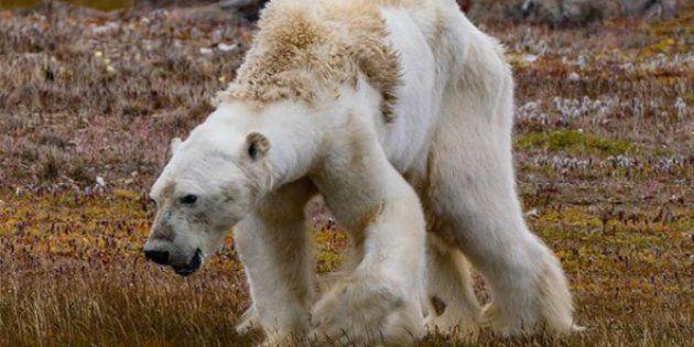 Foto un oso polar desnutrido tomada por Paul Nicklen en el Ártico canadiense, imagen que se ha relacionado...