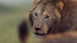 Un león salva a su compañero de morir por el ataque de unas