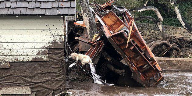 Reilly, uno de los perros del equipo de Bomberos de Santa Bárbara busca víctimas en una casa destruida...