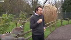 Este reportero quería grabar un vídeo ante lémures pero no fue muy buena
