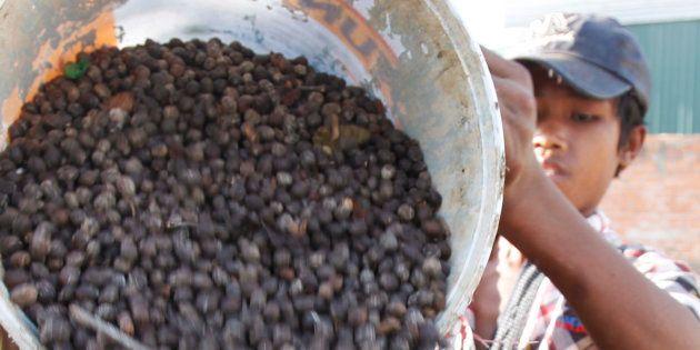 Un niño trabaja en una plantación de café en