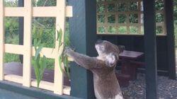 Australia busca al desalmado que mató a un koala atornillándolo a un