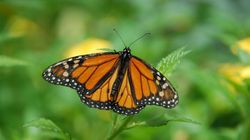 Una modista consigue que una mariposa vuele reconstruyéndole un