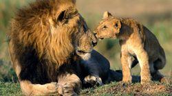 El tuit viral que resume la rabia por el sacrificio de nueve cachorros de león en un