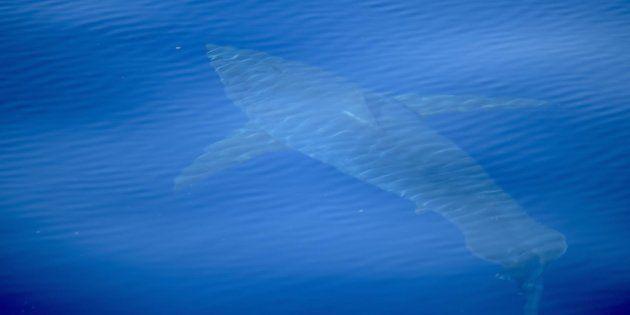 Tiburón blanco avistado cerca de las Islas
