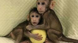Conoce a Zhong Zhong y Hua Hua, primeros monos clonados como