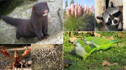 Las especies invasoras en España: cuáles son, qué daño hacen, cómo se