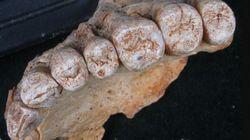 Hallado el fósil de Homo Sapiens más antiguo fuera de