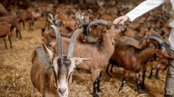 Detenido un hombre en Almería por sodomizar cabras de una