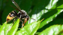 Muere una segunda persona en Galicia por la picadura de avispa