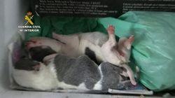 La Guardia Civil localiza 400 perros de raza en situación