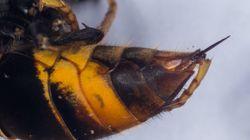 Tercer fallecido por picadura de avispa en Galicia en ocho
