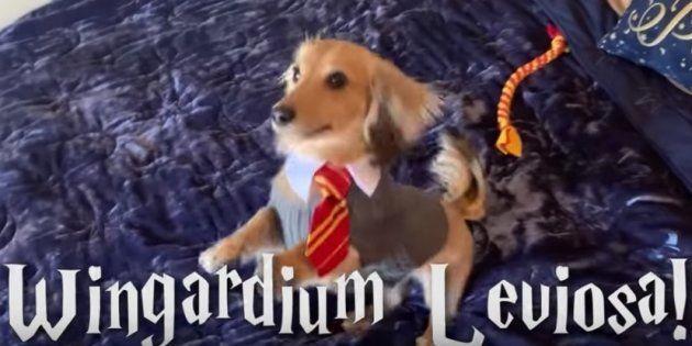 Remus, el perro que responde a hechizos de Harry