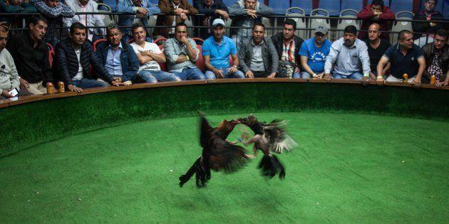 Pelea de gallos en Bogotá (Colombia), en una imagen de
